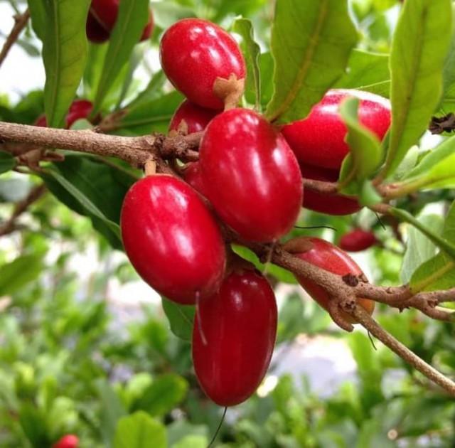 EnMalayalam_Miracle fruit-2rqiLzVPFA.jpg