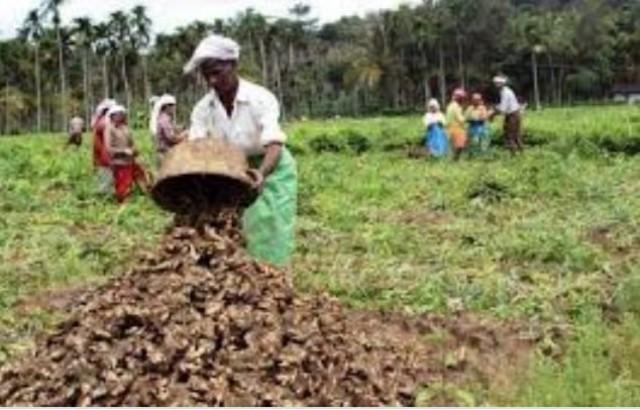 EnMalayalam_ginger farming-UgFtB59XLx.jpg