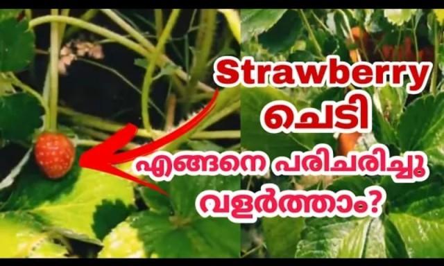 strawberry-jHsTBsTTNj.jpg